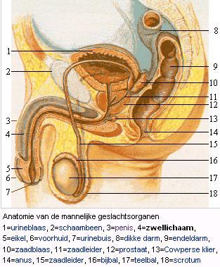 Anatomie van de penis